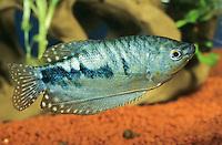 """Marmorierter Fadenfisch, Zuchtform von Gepunkteter Fadenfisch, Punktierter Fadenfisch, Blauer Fadenfisch, Trichopodus trichopterus, Trichogaster trichopterus, """"cosby"""", Cosby gourami, three spot gourami, blue gourami, Le Gourami bleu, Labyrinthfische, Fadenfische, Anabantoidei"""