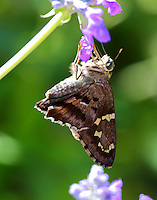 Long-tailed skipper without tails
