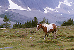 Horse, Tonquin Valley, Jasper National Park, Alberta, Canada