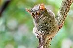 Adult spectral tarsier (Tarsius spectrum), (sometimes Tarsius tarsier) (in recent taxonomic revision, Gursky's spectral tarsier (Tarsius spectrumgurskyae)). Tangkoko National Park, Sulawesi, Indonesia.