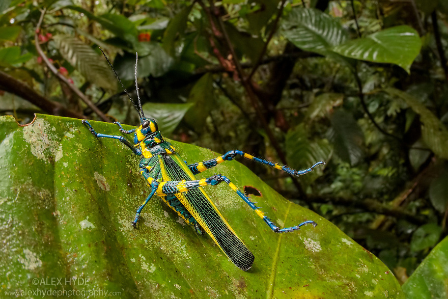 Lubber Grasshopper (Chromacris sp.) with spiny legs raised in defensive pose and bearing aposematic markings to warn of its toxicity. Cloud forest understory vegetation, 1600 metres altitude, Manu Biosphere Reserve, Peru. November.