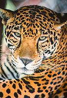 jaguar, Panthera onca, Belize, Central America