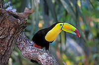 Keel-billed Toucan (Ramphastos sulfuratus),  Central America.