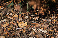 A Western fence lizard blends into its surroundings of bark and leaves at an urban park - hiding in plain sight.