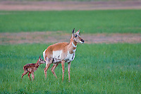 Pronghorn Antelope (Antiloapra americana) doe with very young fawn (born in the last hour--note wetness and blood on fawn).  Western U.S., June.