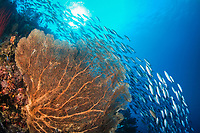 school of bluestreak fusilier, Pterocaesio tile, swimming over a gorgonian sea fan, Raja Ampat, West Papua, Indonesia, Indo-Pacific Ocean