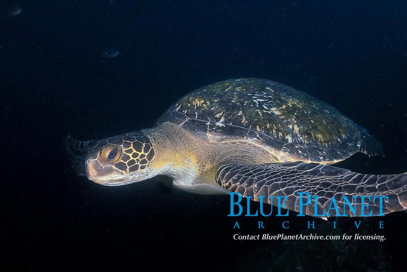 Green sea turtle (scientific name: Chelonia mydas), Galapagos archipelago, Ecuador, east Pacific Ocean