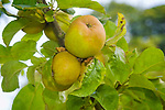 Ashmeads Kernel apples. An eighteenth-century English small eating apple.