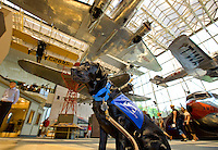 Guide-dog-in-training Kajsa tours Washington, DC, with her volunteer puppy raiser. Kajsa is being raised for the Southeastern Guide Dogs program. Shown at the Smithsonian Air and Space Museum.