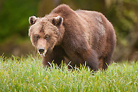 Grizzly Bear eating grass in the Khutzeymatten Grizzly Bear Sanctuary