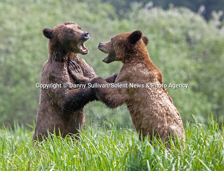 Sequence 4 of 9:  Young bears look like they're dancing as they play fight in the morning sun.  The two animals had just swum across an inlet in the Khutzeymateen Grizzly Bear Sanctuary in Canada's British Colombia when they indulged in some horseplay.<br /> <br /> The images were captured by amateur wildlife photographer Danny Sullivan.  SEE OUR COPY FOR DETAILS.<br /> <br /> Please byline: Danny Sullivan/Solent News<br /> <br /> © Danny Sullivan/Solent News & Photo Agency<br /> UK +44 (0) 2380 458800
