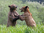 Fighting bears look like they are dancing by Danny Sullivan