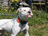 SH40-584z  American Bulldog, Close-up of face,  Canis lupus familiaris