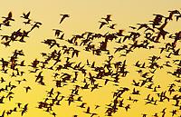 Snow Goose, Chen caerulescens, flock in flight at sunrise, Bosque del Apache National Wildlife Refuge , New Mexico, USA