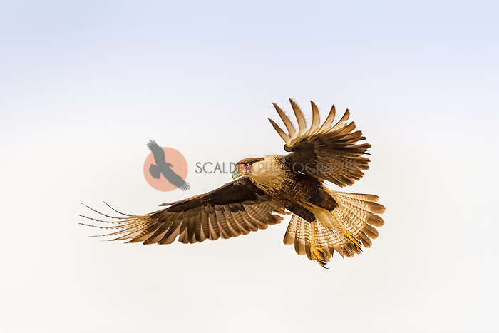 Crested Caracara landing with primary feathers and tail feathers spread