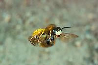 Bienenwolf im Flug mit erbeuteter Biene, Philanthus triangulum, Philanthus apivorus, European beewolf, bee-eating philanthus, le philanthe apivore