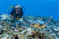 hawksbill sea turtle, Eretmochelys imbricata, and scuba diver, critically endangered species, Gan, Maradhoo, Addu Atoll, Maldives, Laccadive Sea or Lakshadweep Sea, Indian Ocean, MR