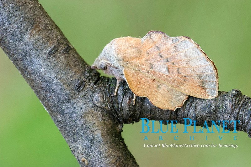 Small Lappet (Phyllodesma ilicifolia), adult male, resting on twig, Italy, Europe