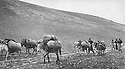 Iraq 1963 .A convoy of mules and donkeys.Irak 1963.Un convoi de mules et d'anes