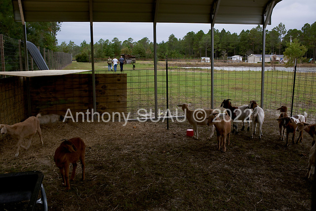 Jacksonville, Florida<br /> November 4, 2013<br /> <br /> Veteran's sustainable farm founded by Purple Heart veteran Adam Burke and managed by Afghan and Iraqi veteran Steve Ellseberry.<br /> <br /> Marine Trey Evans, Shaun Valdivia and army vet Steve Ellseberry walk back to the house from the goat pin.