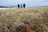 Aviculturists from the  Wildfowl and Wetlands Trust in the UK and Russian ornithologist Pavel Tompkovich approaching the nest of a Spoon-billed Sandpiper with a portable incubator. The eggs were removed and carefully taken to an incubator housed in the village for captive rearing. Chukotka, Russia. June.