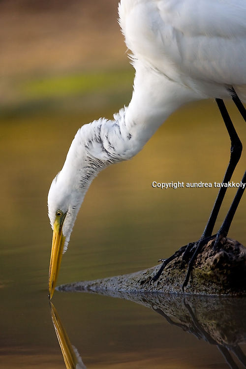 Great Egret trying to catch a fish or a frog