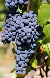 Italien, Piemont, Langhe: blaue Weintrauben | Italy, Piedmont, Langhe: blue grapes