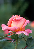 "Rosaceae family. ""solitude"" winner of 1993 Americana rose competition"