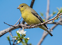 Female Lesser Goldfinch, Carduelis psaltria, perches in a plum tree in Berkeley, California