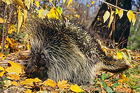Porcupine among cottonwood leaves.  Fall.  Western U.S.
