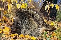 Porcupine among cottonwood leaves.  Fall.  Western U.S.