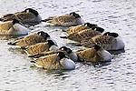 Canada Geese Resting, Branta canadensis