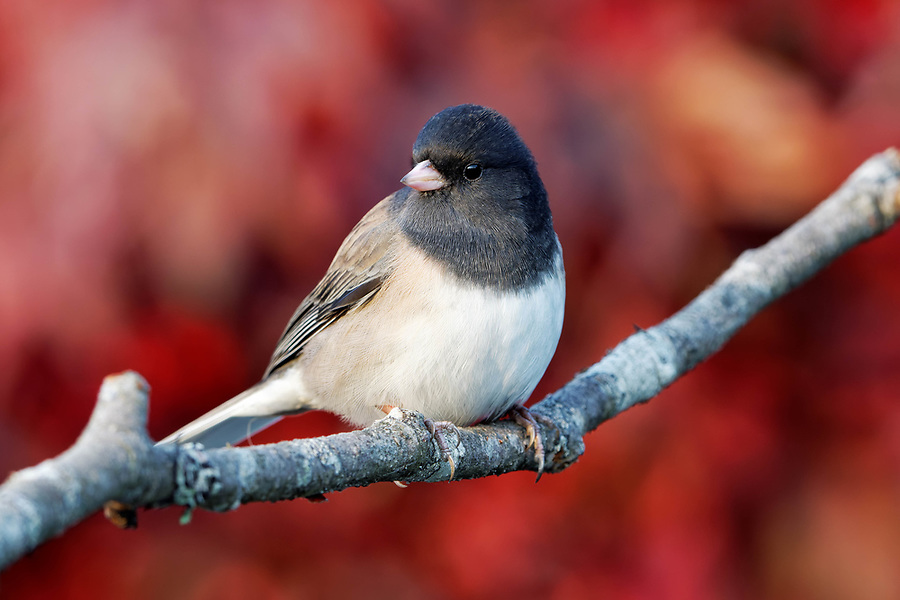 Male dark-eyed Junco (Junco hyemalis) with injured eye perched on branch, autumn colors in background, Snohomish, Washington, USA
