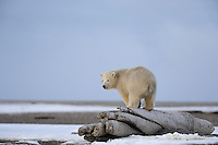 A polar bear cub stands on a log near Kaktovik, Alaska. Every fall, polar bears gather near the community, on the northern edge of ANWR, waiting for the Arctic Ocean to freeze. The bears have become a symbol of global warming.