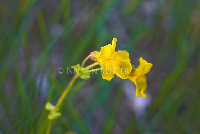 Yellow Monkeyflower blossoms