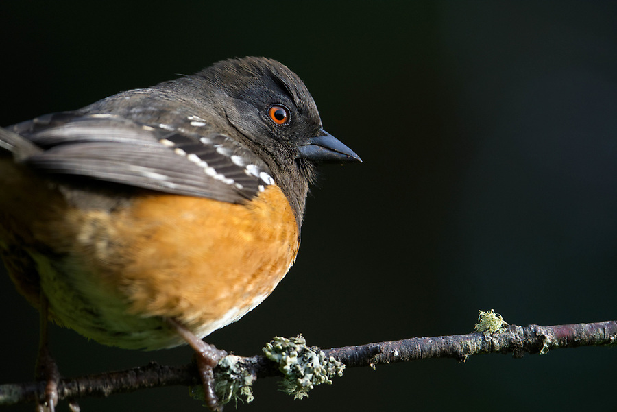 Male spotted towhee perched on branch, Snohomish, Washington, USA