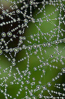 Gemeine Baldachinspinne, Baldachin-Spinne, baldachinförmiges Netz mit Morgentau, Linyphia triangularis, European sheet-web spider, Money Spider, sheet-web weaver, line-weaving spider, line weaver