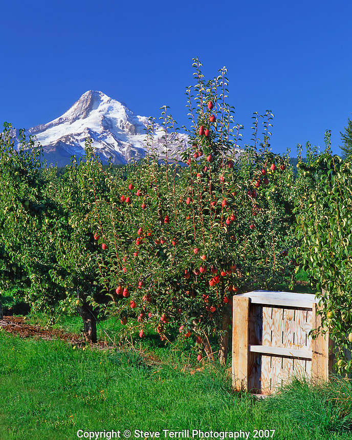 Red bartlett pears with bin framing Mt Hood in Hood River Valley Oregon