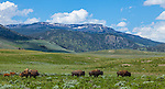 Yellowstone National Park, WY<br /> Bison herd moving through the Lamar River Valley