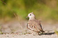 Common Ground-Dove (Columbina passerina), adult, Sinton, Corpus Christi, Coastal Bend, Texas, USA