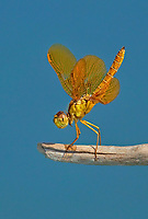 304570008v a wild mexican amberwing dragonfly perithemis intesa perches on a branch near el centro imperail county california united states