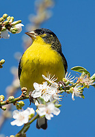 Male Lesser Goldfinch, Carduelis psaltria, perches in a plum tree in Berkeley, California