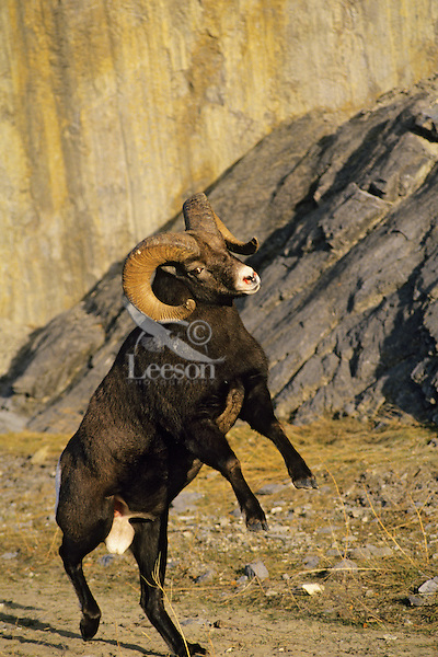 Bighorn sheep ram preparing to butt heads with another ram.