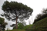 Pinie, Italienische Steinkiefer, Mittelmeer-Kiefer, Schirm-Kiefer, Schirmkiefer, Pinus pinea, Stone Pine, Italian Stone Pine, Umbrella Pine