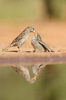 House Sparrow (Passer domesticus), female feeding young, Rio Grande Valley, South Texas, Texas, USA