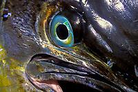 game fish, eye of mahi mahi, dorado or dolphinfish Coryphaena hippurus (dead) East Cape, Baja, Mexico, Pacific Ocean