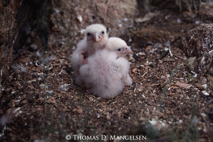 Two Peregrine Falcon chicks on their nest.