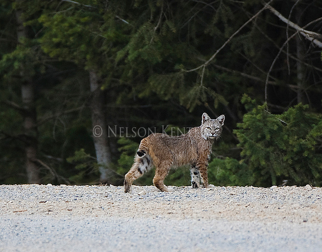 A Bobcat on a mountain road