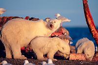 polar bear mother and cubs, Ursus maritimus, feeding on carcass of bowhead whale, Balaena mysticetus, Arctic National Wildlife Refuge, Alaska, polar bear, Ursus maritimus
