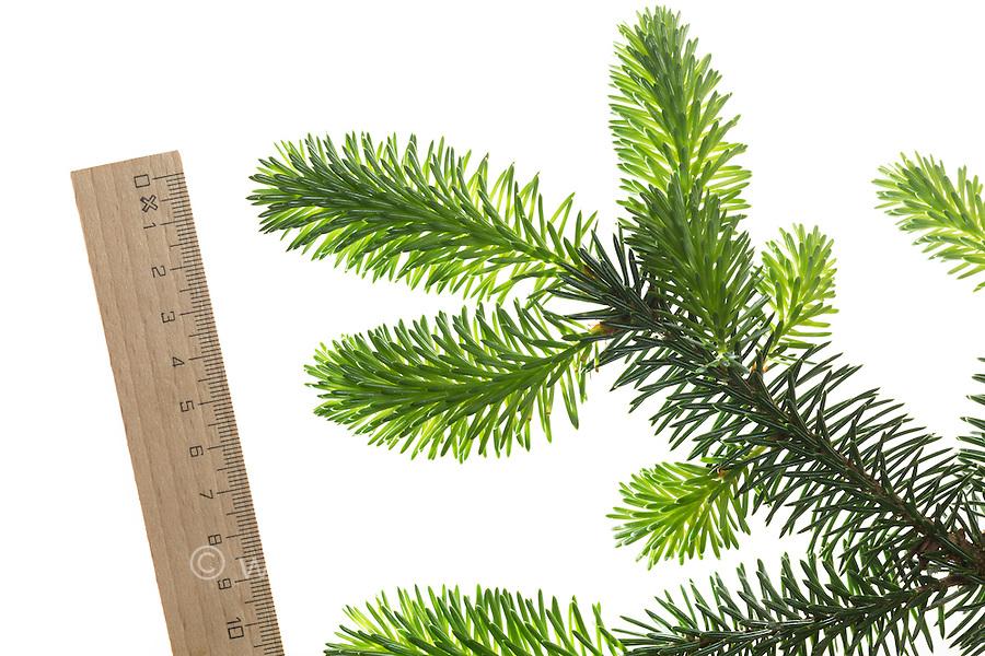 Sitka-Fichte, Sitkafichte, Picea sitchensis, Sitka spruce, L'Épinette de Sitka, Épicéa de France. Blatt, Blätter, leaf, leaves